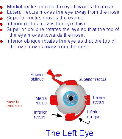 diagram of the left eye 1955 chevy headlight switch wiring extraocular muscles