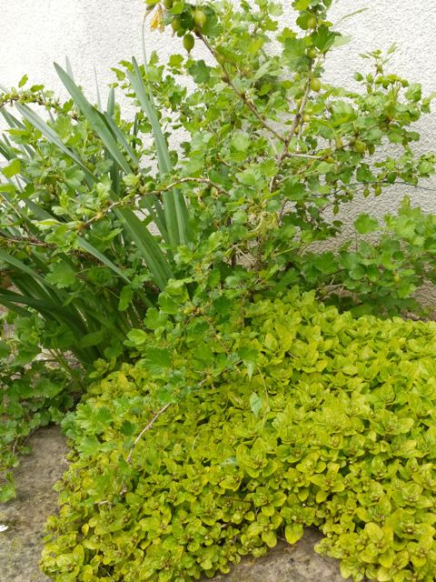 Gooseberries and Oregano