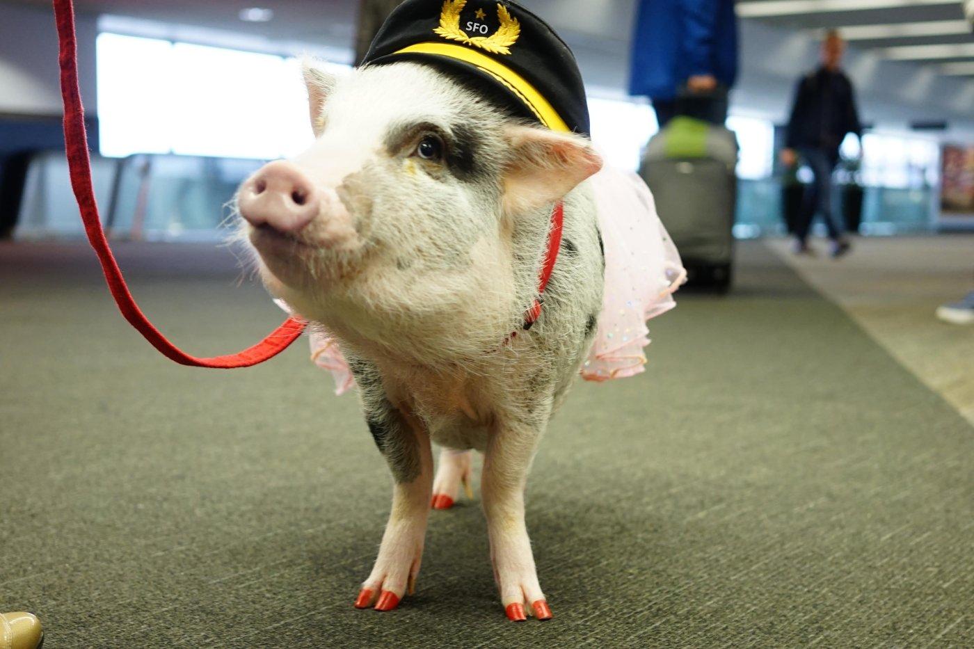 Image of SFO's Wag Brigade pig