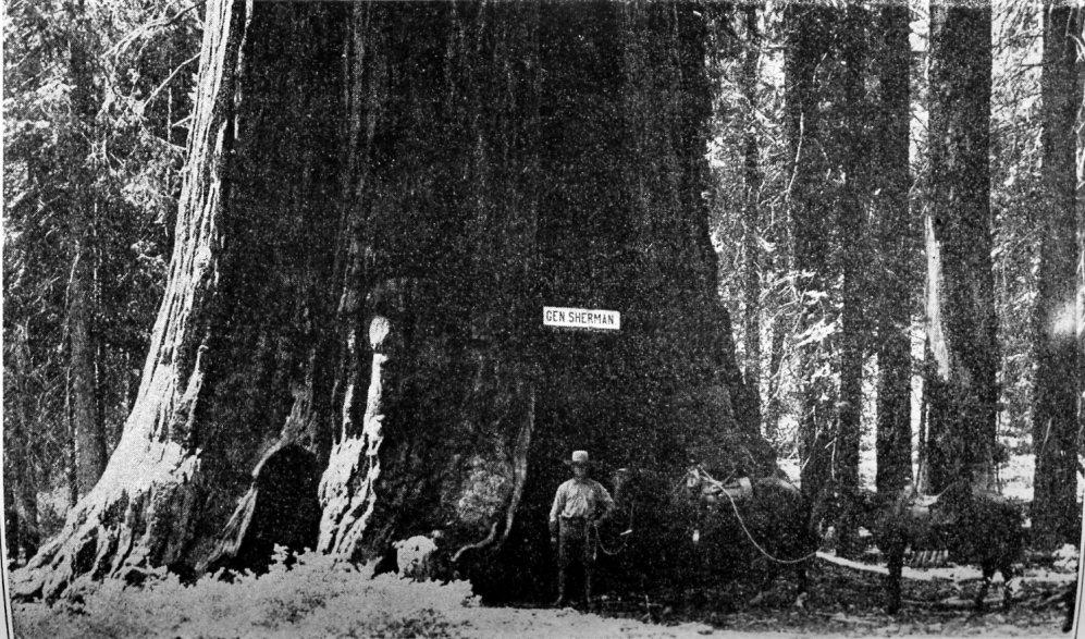 https://i0.wp.com/www.yosemite.ca.us/library/big_trees_of_california/images/sherman_tree.jpg