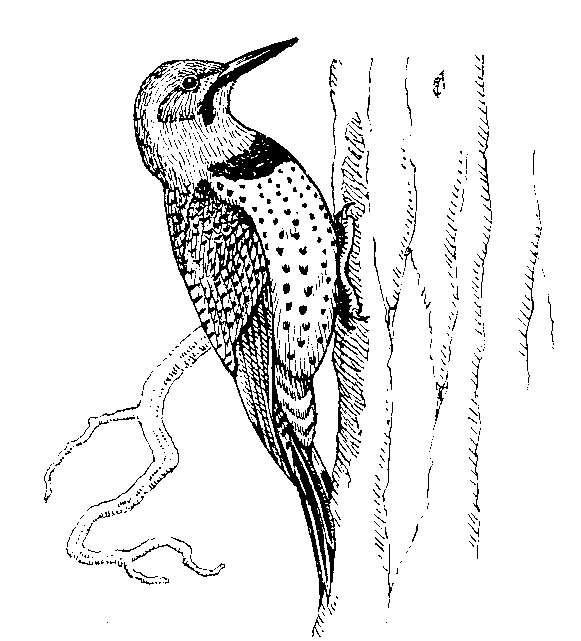 Red Headed Woodpecker Drawing