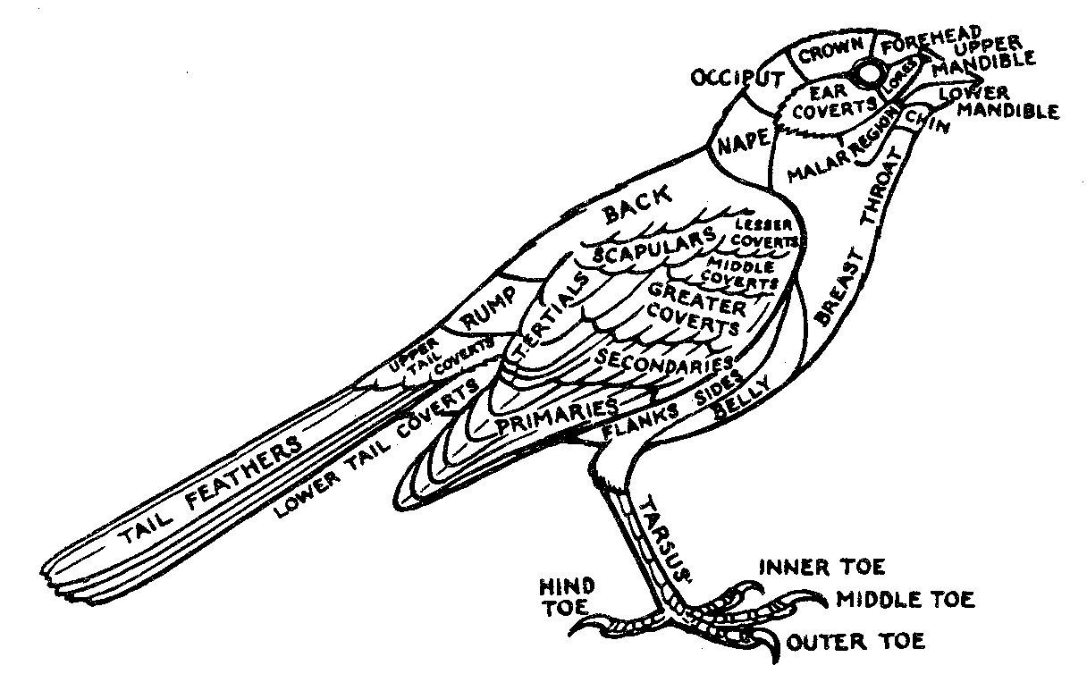 hight resolution of simple bird diagram for kids photo 10