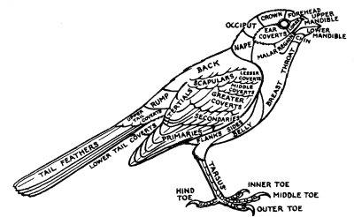 Where can I find a diagram of a Green Woodpecker or Picis