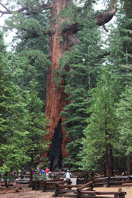 The Mariposa Grove Grizzly Giant