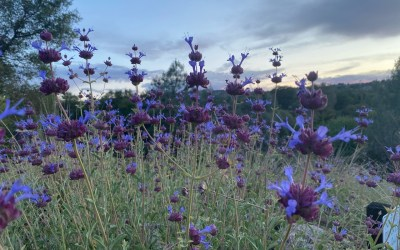 Native plants for YLP: Sages