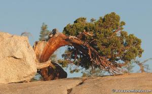 jeffrey-pine-at-olmstead-crop