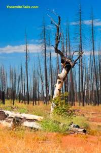 Rim Fire Remnants with New Growth