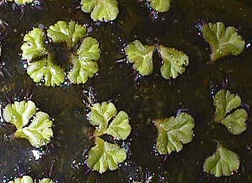日本の水草-イチョウウキゴケ