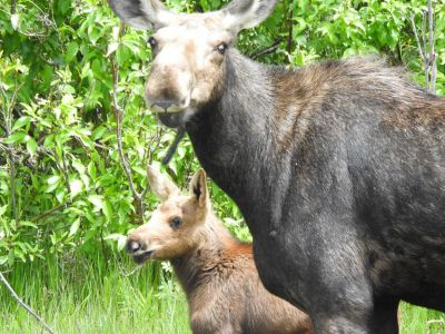 Mother Moose with her baby