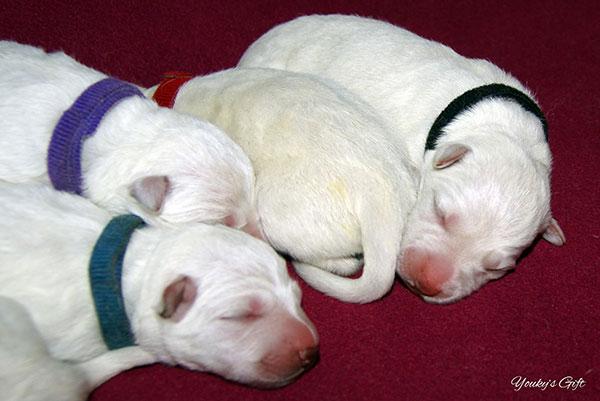cuccioli di pastore svizzero