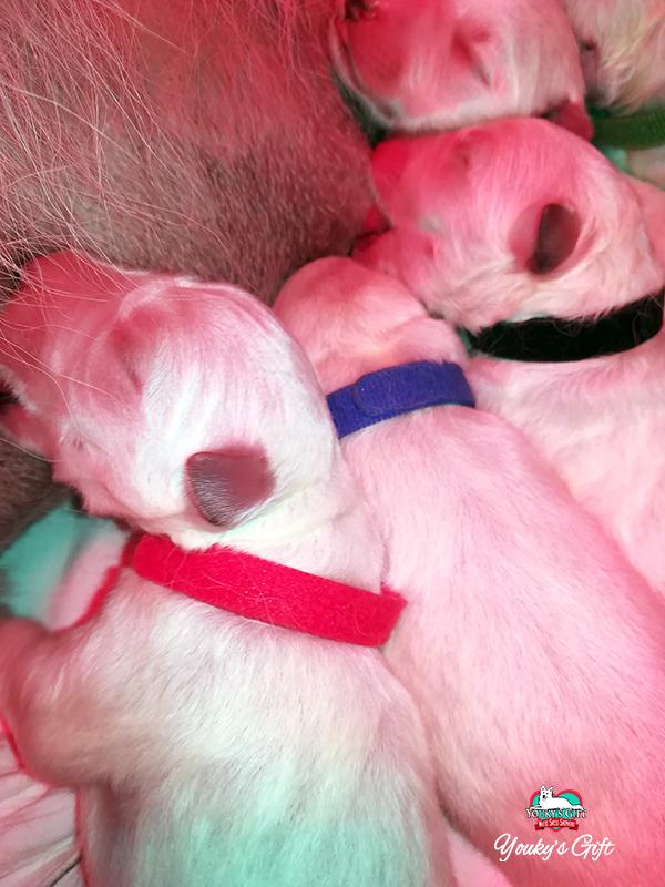 cuccioli pastore svizzero bianco cucciolata E Derin bikila tre musini