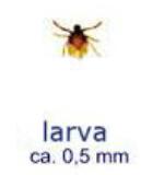 larva zecche pastore svizzero cuccioli