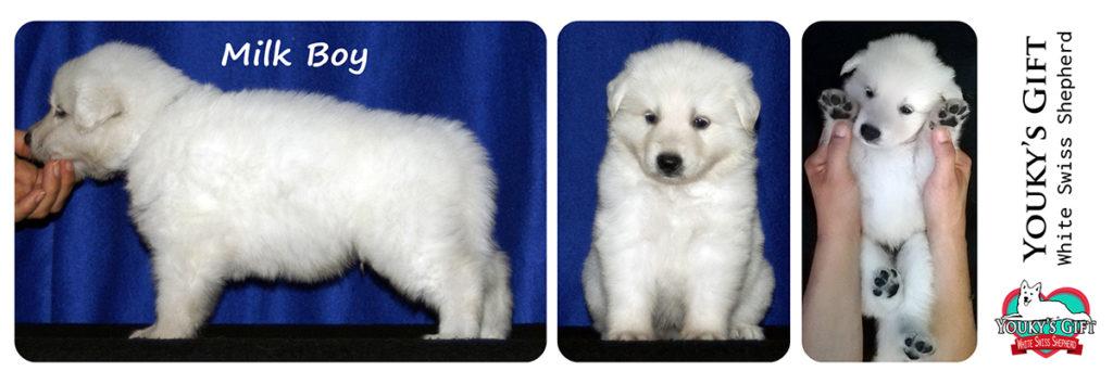 cuccioli pastore svizzero youky's gift cucciolata E foto 30 giorni