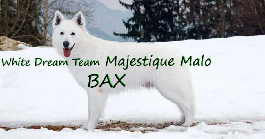 white dream team majestique malo bax cuccioli