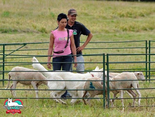 Youky pastore svizzero in sheepdog