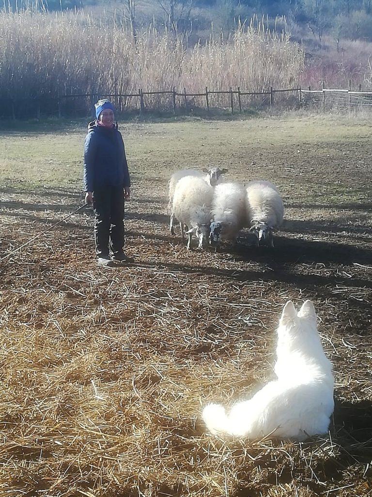 acqua pastore svizzero Youky's Gift in sheepdog