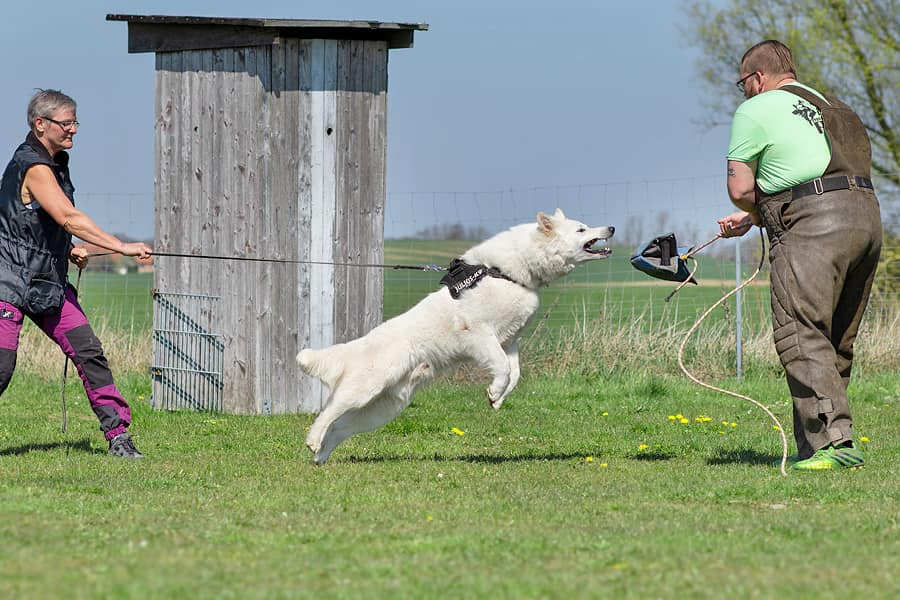 king abas vom weissen birkenstolz primi attacchi cuccioli allevamento pastore svizzero Youky's Gift