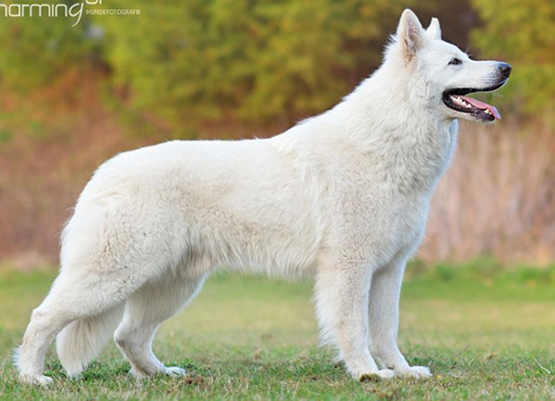 king abas vom weissen birkenstolz stand cuccioli allevamento pastore svizzero Youky's Gift