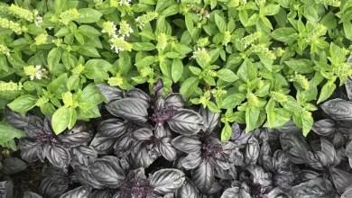 Photo of Bazylia (Ocimum basilicum)