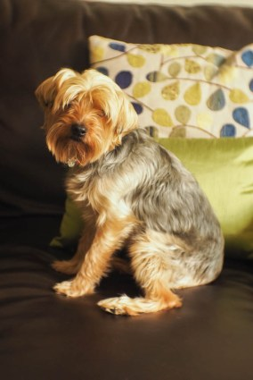 Princess Leia yorkie dog