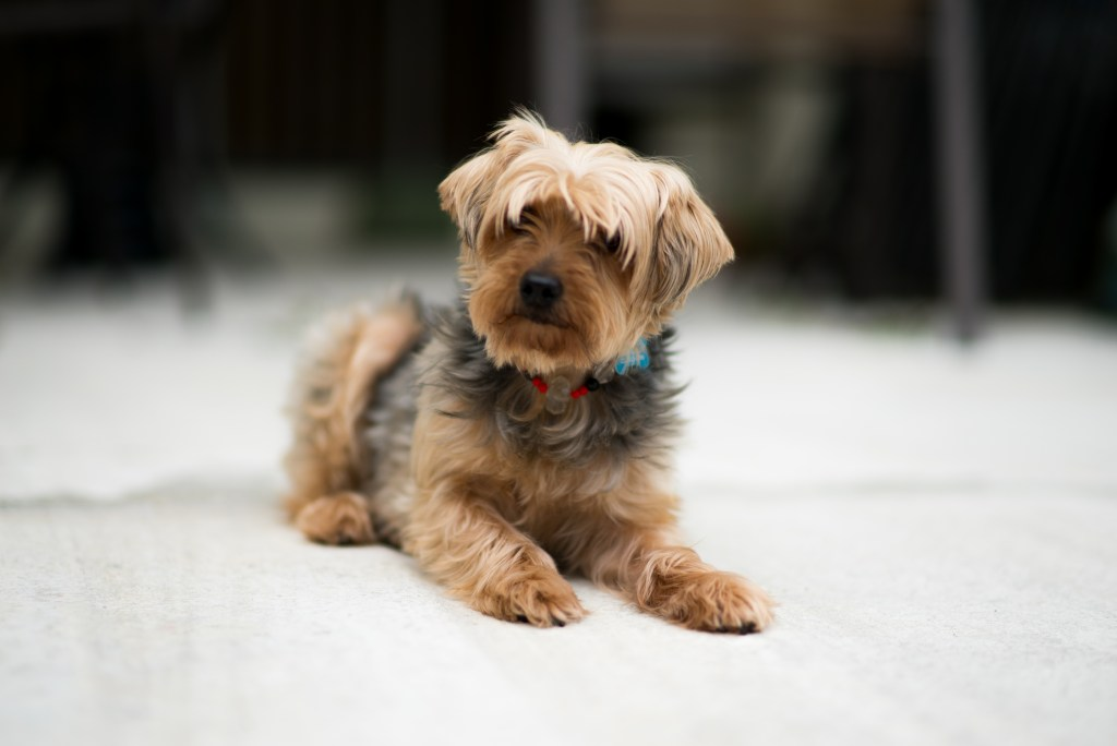 Princess Leia yorkie dog younfolded blog the furry friend tag