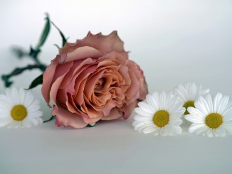 Pink Rose with white flowers