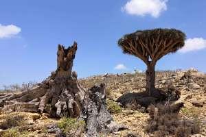 Tress in Socotra