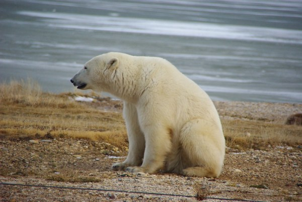 A polar bear near Churchill Canada, not an animal of Antarctica