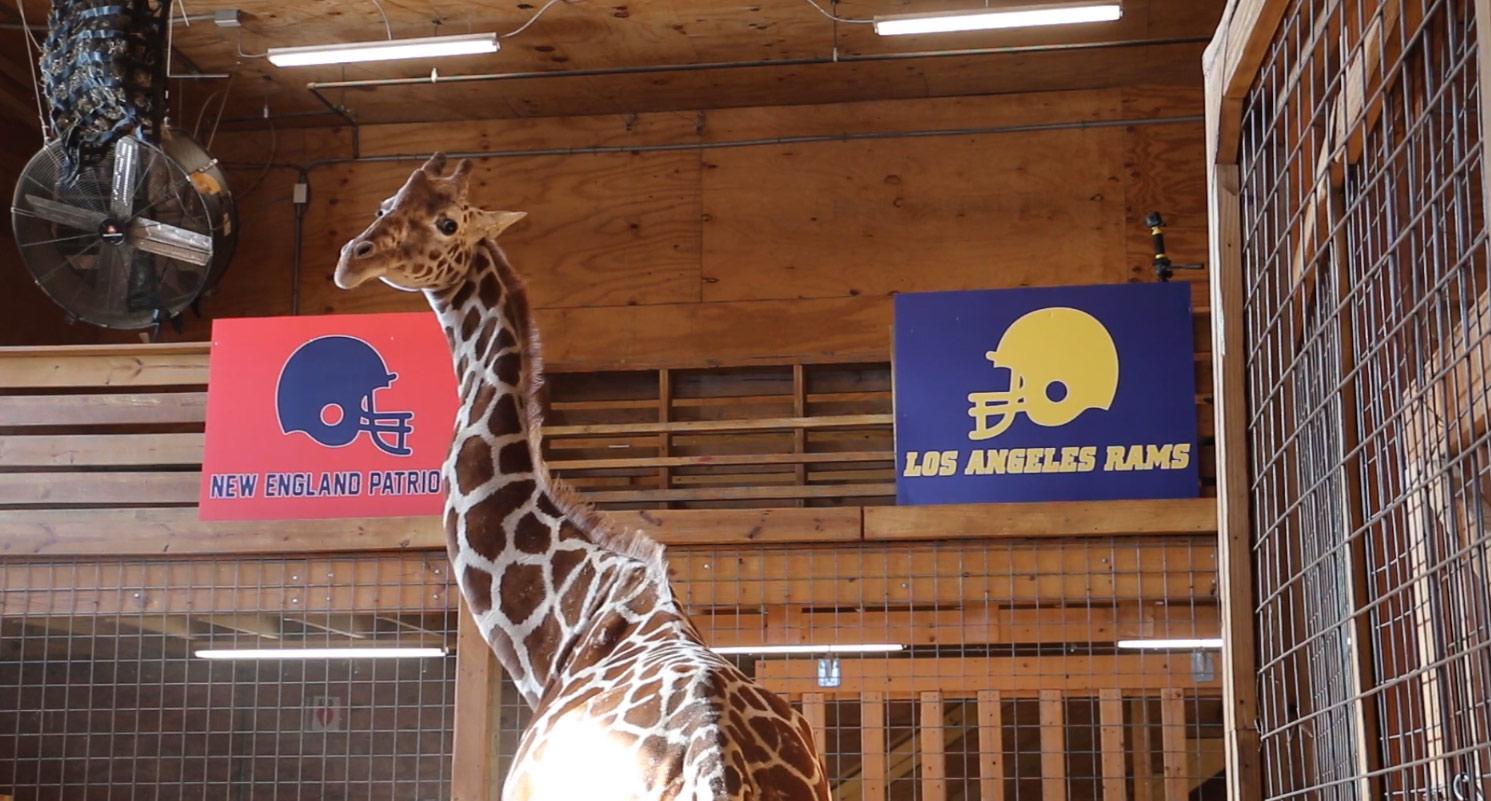 2019-01-31 April the Giraffe_1548959599243.jpg-873772057.jpg