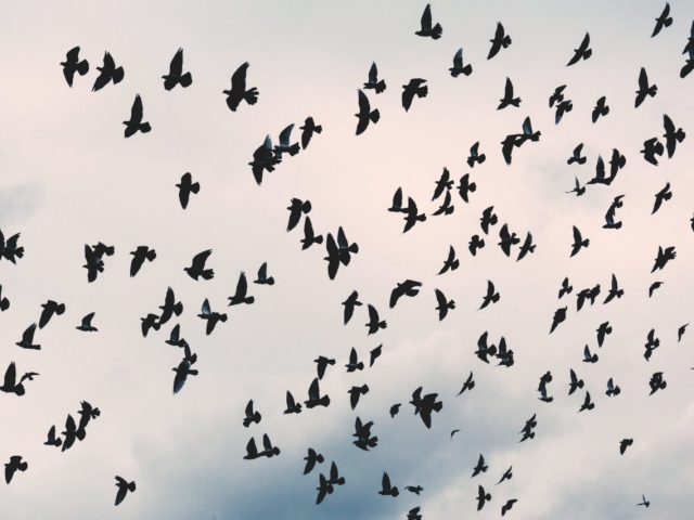 Many crows flying against cloudy daytime sky