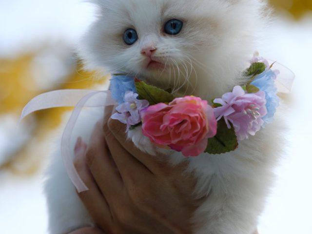 Romance - white kitten draped in wreath of flowers