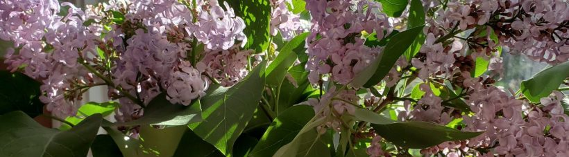 Closeup of lilacs