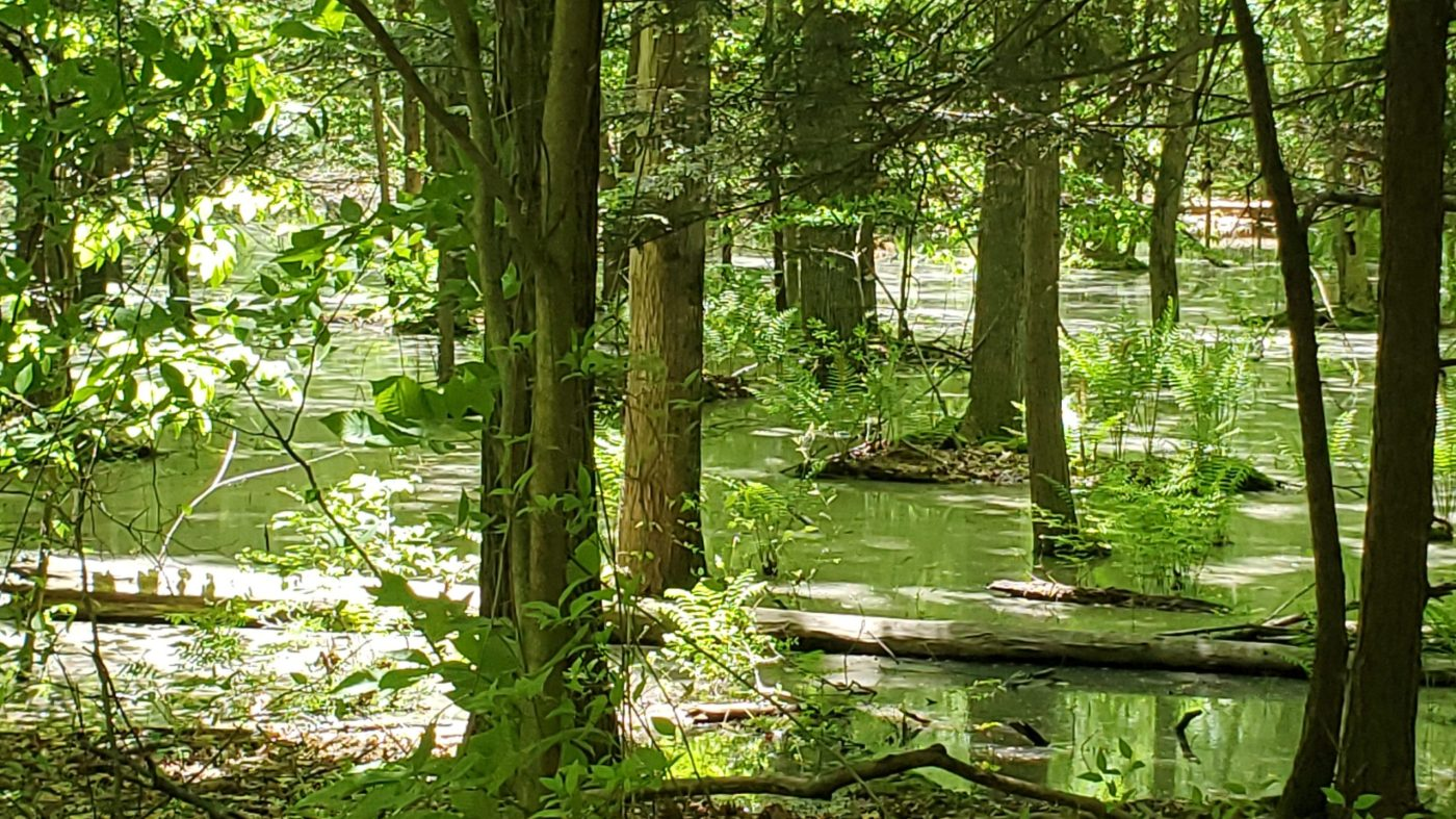 trees with green leaved reflected in a shallow natural pool of water