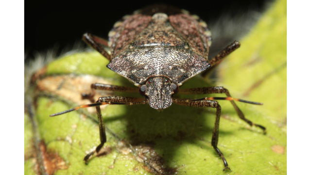 Food and Farm Stink Bugs_1550616881709