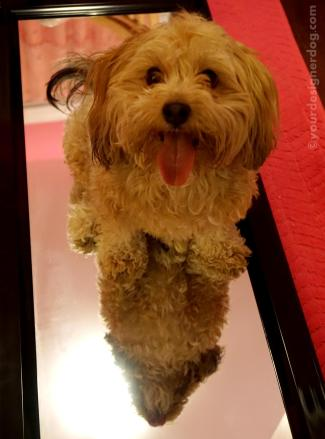 dogs, designer dogs, yorkipoo, yorkie poo, mirror, reflection, tongue out