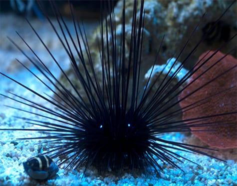 Black Spine Urchin