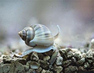 Nassarius Snail