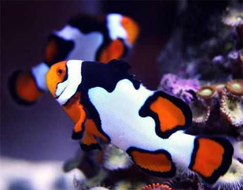 Piccaso Clownfish