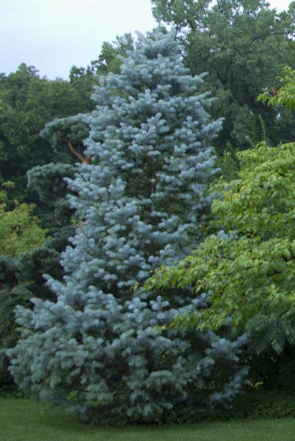 three top native evergreen trees