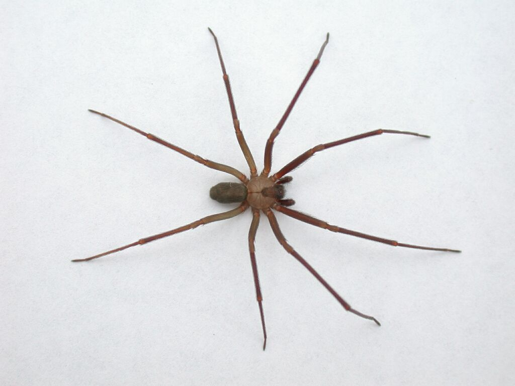 Brown house spider vs brown recluse