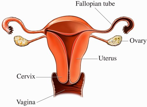 small resolution of artwork of the female reproductive system showing the location of the ovaries