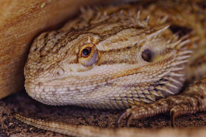 lizard tank
