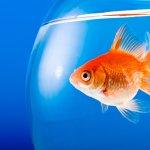 lifespan of a goldfish
