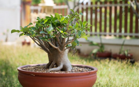 5 Plants that should not be kept at home - bonsai