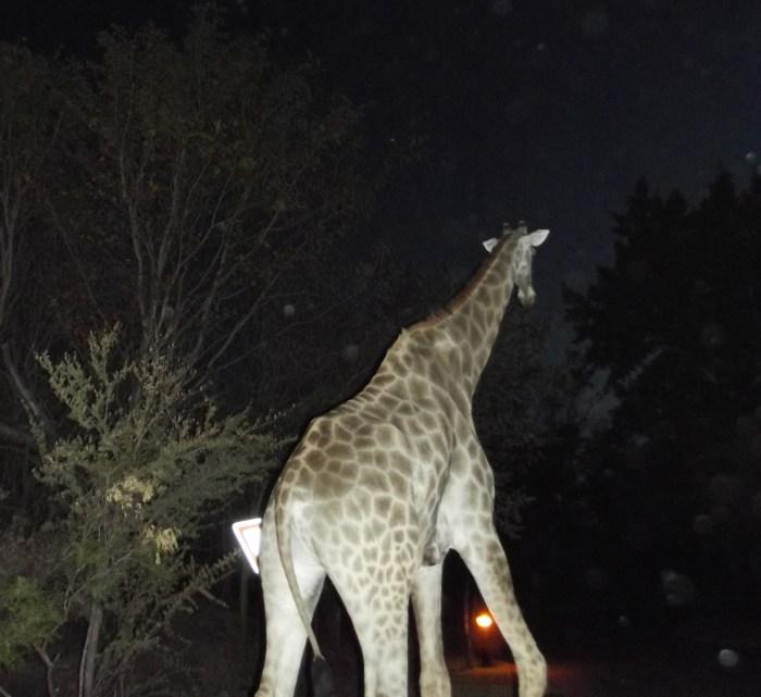 giraffe zambia