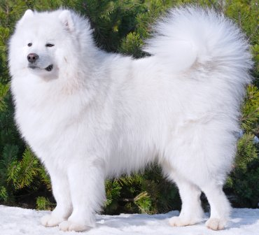 samoyeds what s good about em what s bad about em
