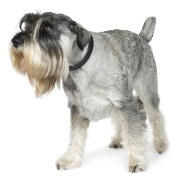 Standard Schnauzers Whats Good About Em Whats Bad