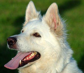 Cute Pet Dogs Wallpapers Buying Or Adopting A White German Shepherd