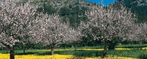 almonds Blossoms