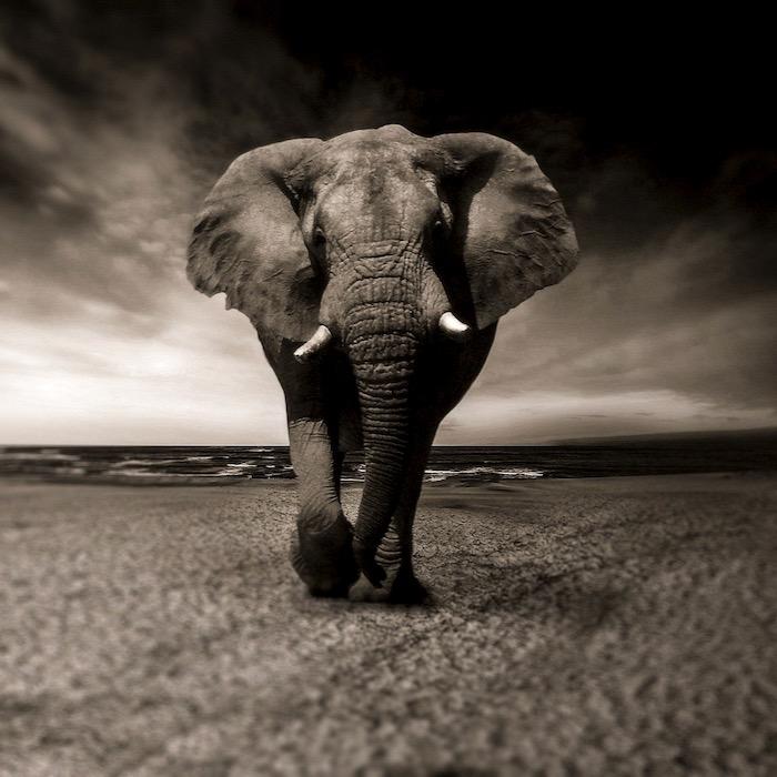 Elephant face on